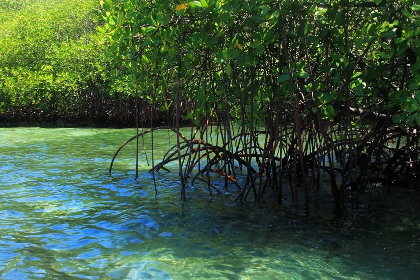 Akar nafas dari gugusan tumbuhan bakau menjadi habitat alami beraneka jenis ikan
