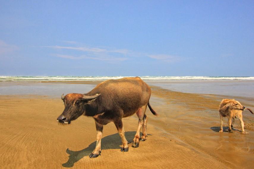 Saat pagi atau sore hari, Pantai Bagedur digunakan para peternak untuk mengembalakan sapi dan kerbau mereka