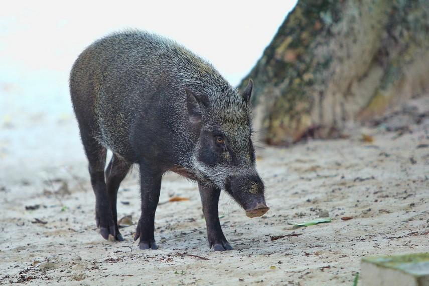 Babi hutan menjadi salah satu hewan yang berkeliaran di hutan kawasan Pulau Peucang