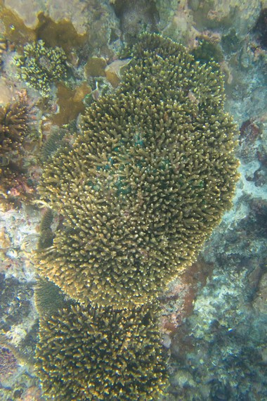 Salah satu gugus terumbu karang yang dapat dijumpai di perairan dangkal Nusa Penida