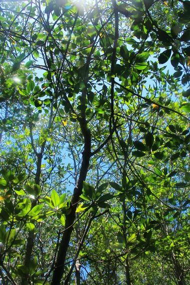 Selepas lelah melakukan snorkeling, kerindangan hutan bakau Jungut Batu dapat menjadi tempat untuk melepas lelah