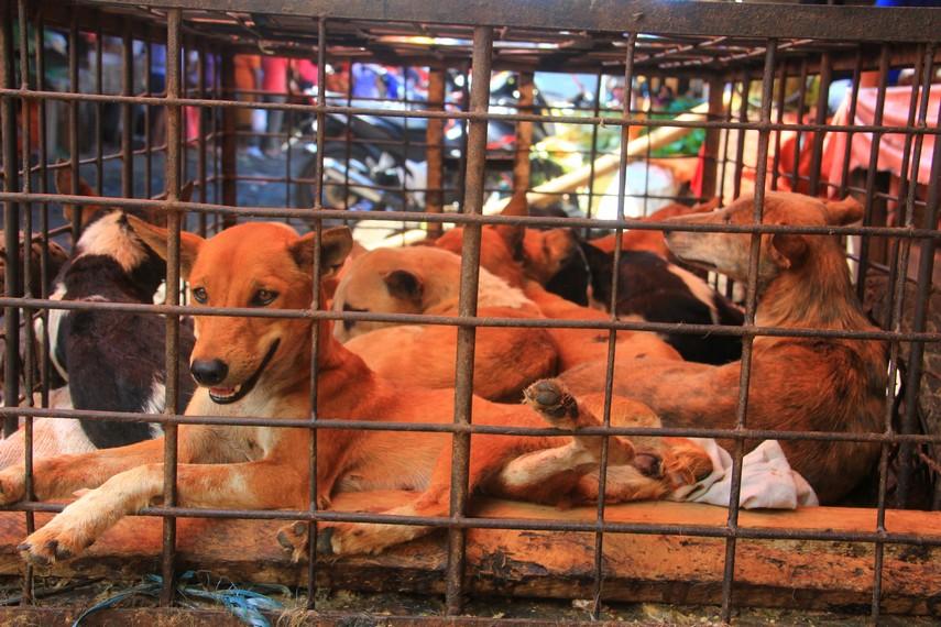 Anjing-anjing yang masih hidup juga menjadi salah satu yang dijual di Pasar Tomohon