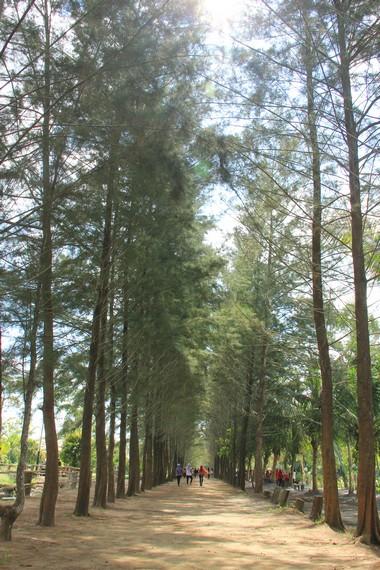 Salah satu kawasan di BBG yang ditumbuhi pepohonan pinus
