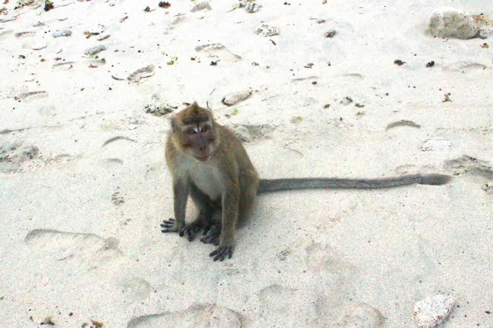 Kera jinak yang sering berkeliaran Pantai Pasir Putih