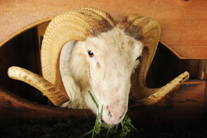 Domba juara tradisi ketangkasan domba didatangkan untuk menghasilkan bibit domba dengan kualitas terbaik