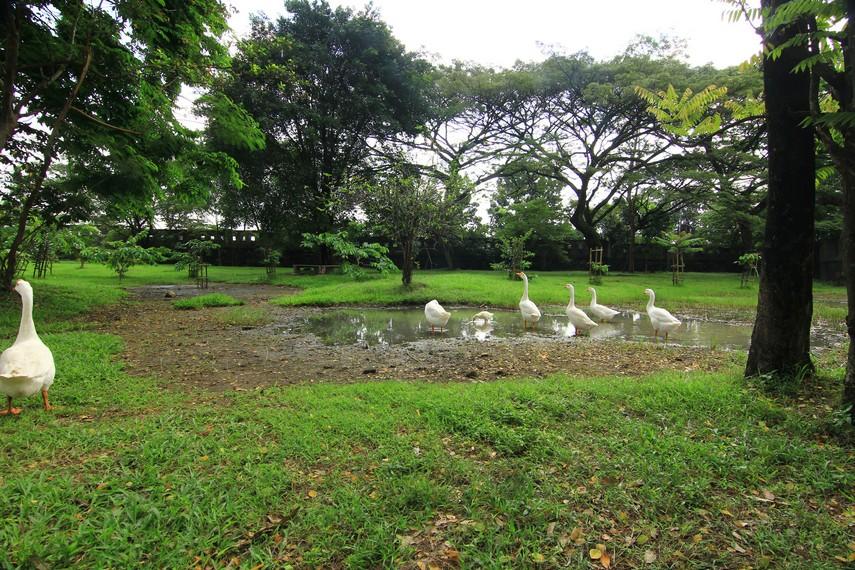 Keasrian taman semakin terasa dengan adanya hewan-hewan yang hidup bebas di kawasan ini, seperti kawanan angsa