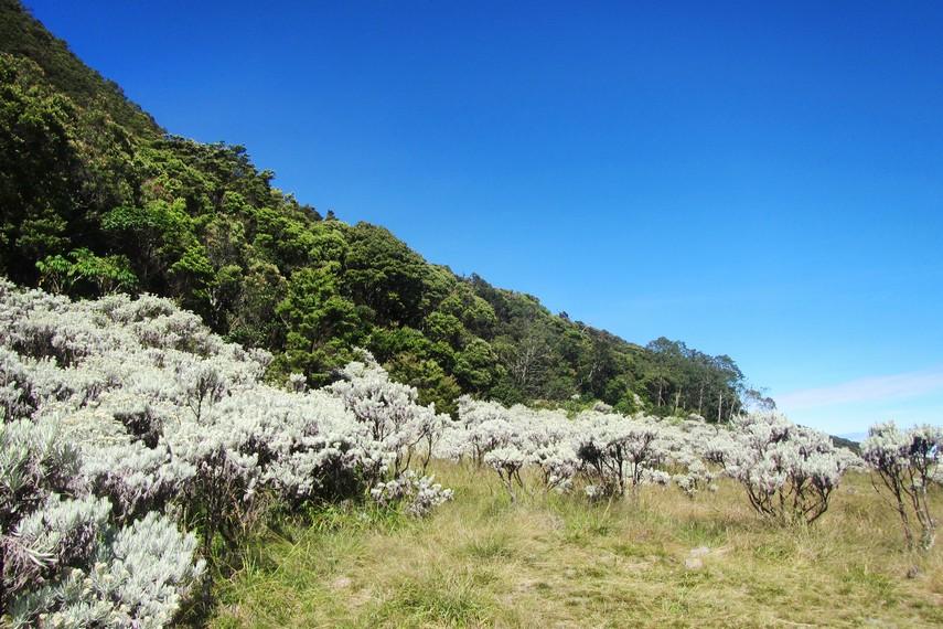 Pada ketinggian 3.000 mdpl, Taman Nasional Gunung Gede-Pangrango banyak ditumbuhi tanaman edelweis dan cantigi