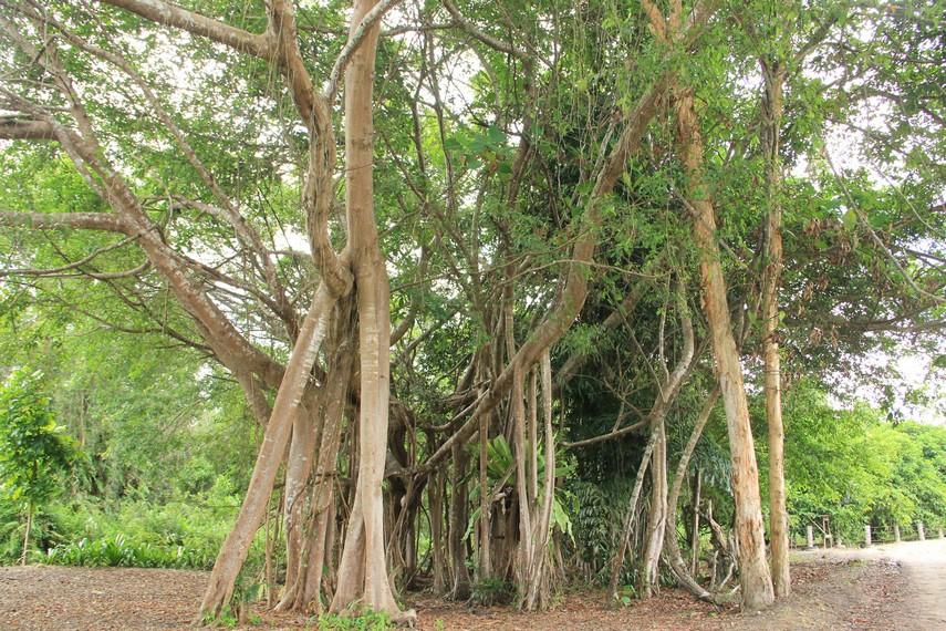 Salah satu tumbuhan tua yang tetap dijaga keberlangsungannya demi menjaga alam dan lingkungan hidup