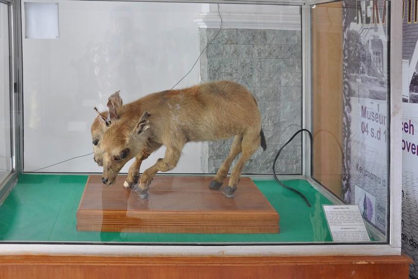 Anak kerbau berkepala dua yang diawetkan melengkapi koleksi Museum Negeri Aceh