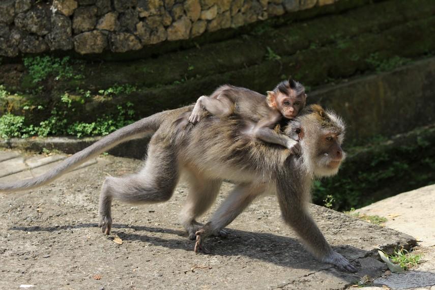 Induk dan anak monyet penghuni Alas Kedaton