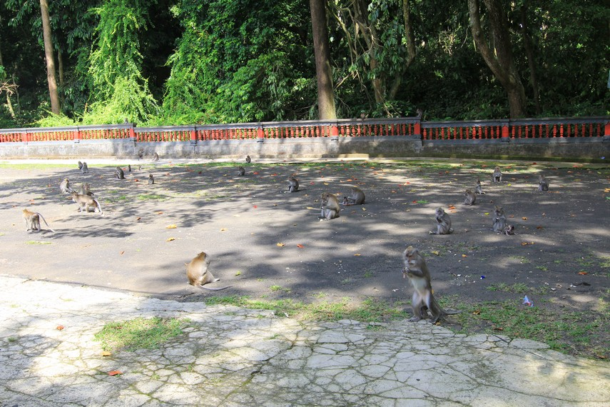 Koloni monyet penghuni Alas Kedaton
