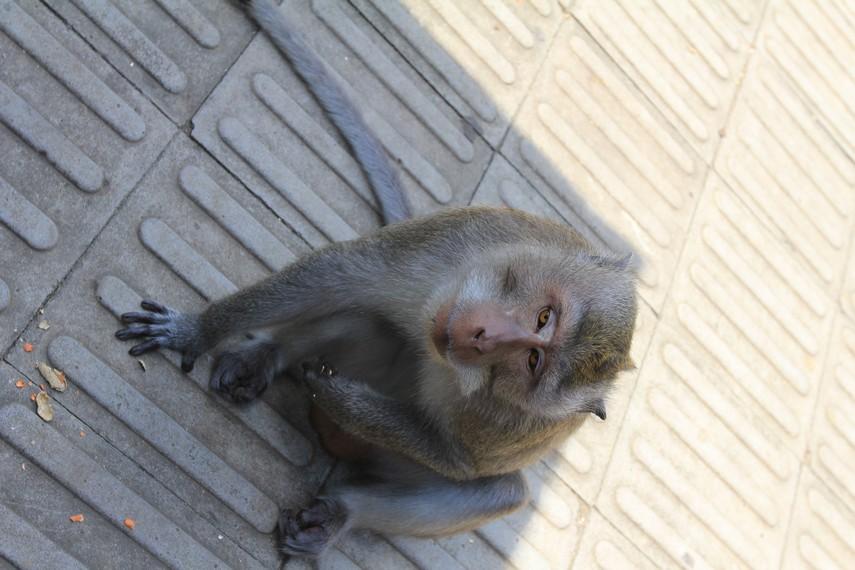 Monyet penghuni Alas Kedaton