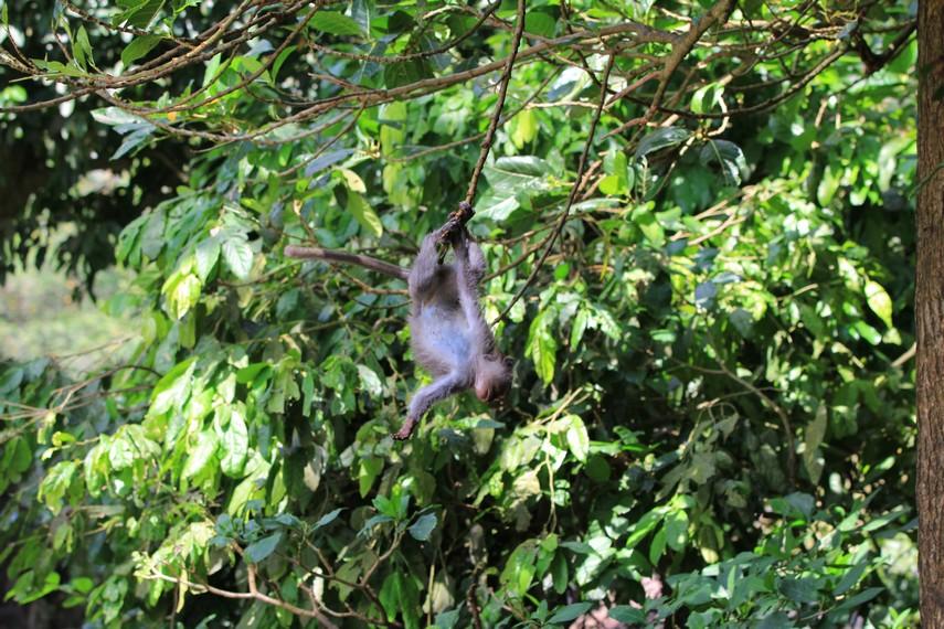 Tingkah laku monyet penghuni Alas Kedaton