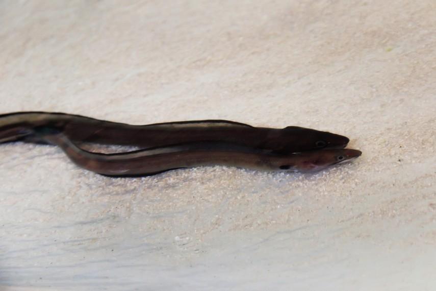 Belut salah satu biota laut yang hidup Pantai Kukup
