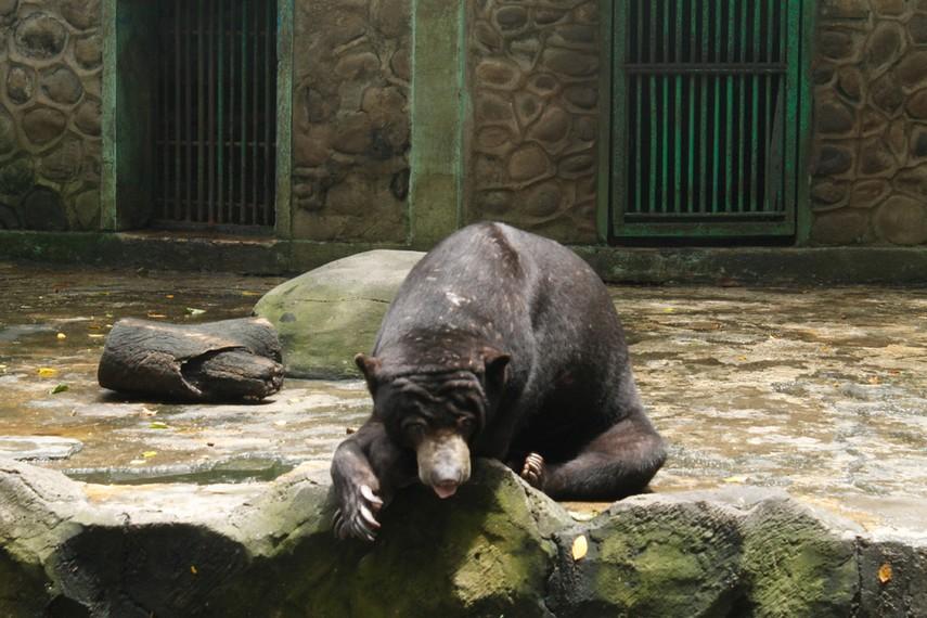 Beruang madu yang menjadi salah satu koleksi Kebun Binatang Ragunan
