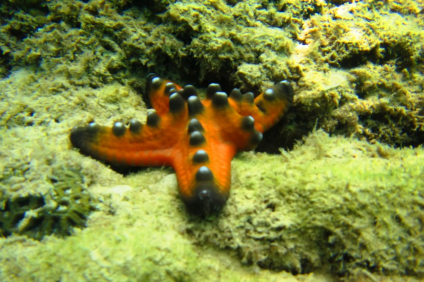 Bintang laut menjadi salah satu pemandangan yang bisa dilihat di sekitar Pulau Samalona
