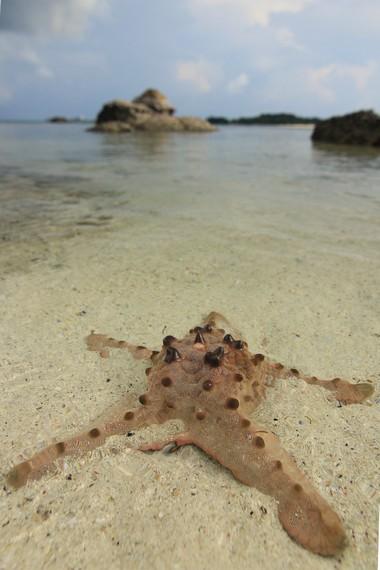 Bintang laut menjadi salah satu biota laut yang bisa kita saksikan di Pulau Batu Berlayar