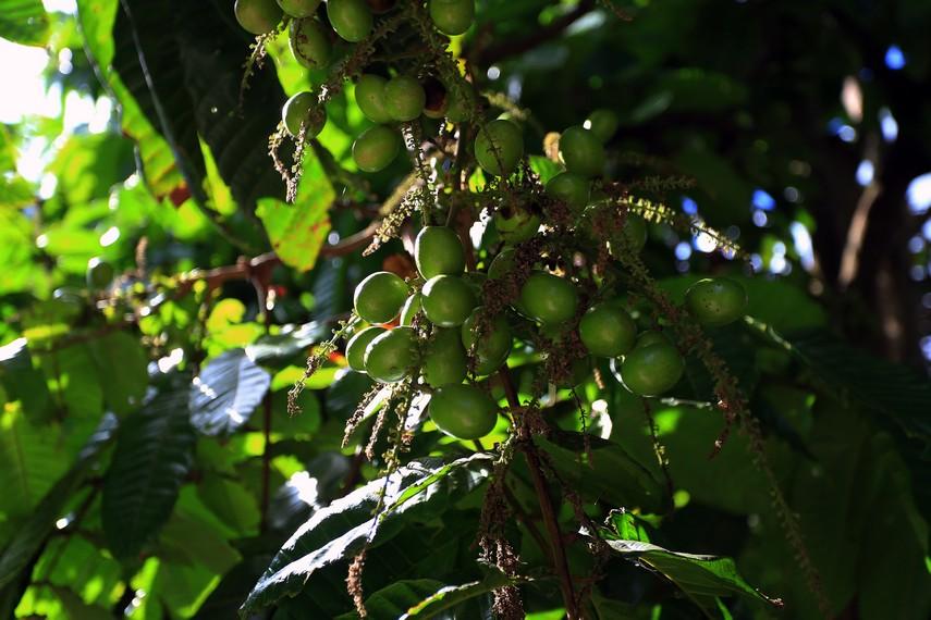 Buah Matoa muda yang masih muda, berwarna hijau dan rasanya pun masih asam serta cenderung pahit