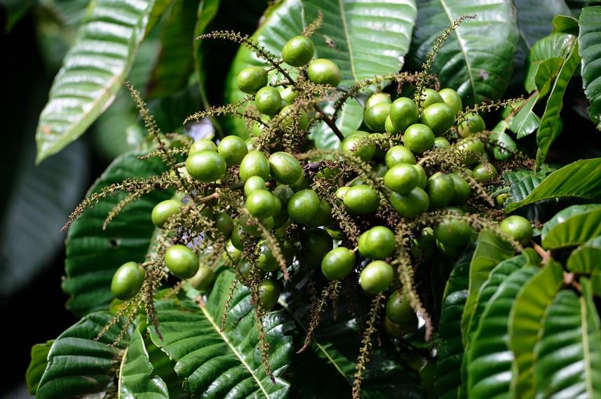 Buah Matoa sebagai salah satu buah-buahan khas Papua yang sangat terkenal dan di sukai banyak orang