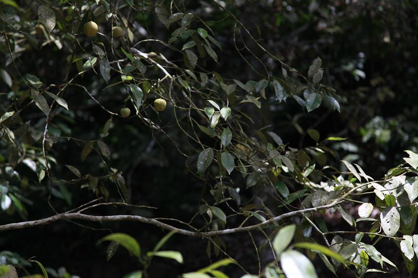 Buah Pala yang masih tergantung di pohon