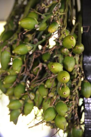 Buah Pinang yang masih menggantung di pohon