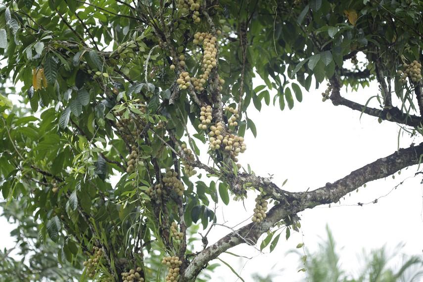 Buah langsat yang sudah matang di pohon