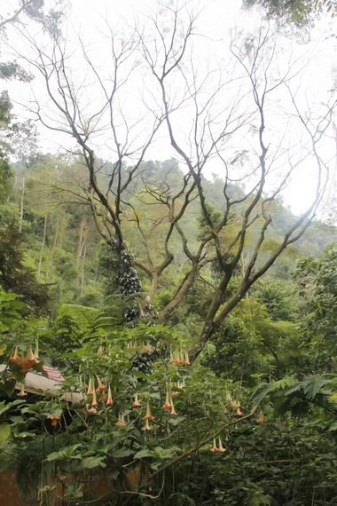 Bunga Terompet, kekayaan flora yang ada di Kaliurang