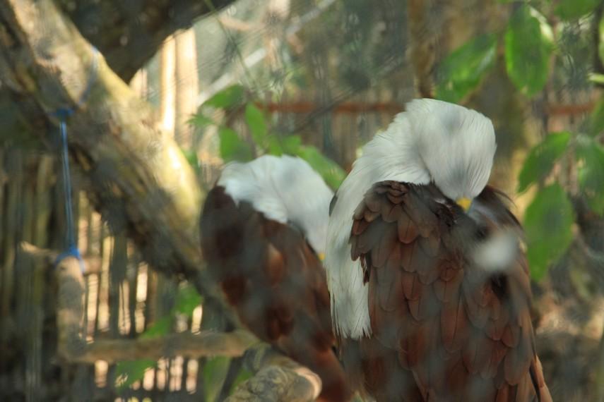 Burung elang bondol menjadi pemandangan tersendiri bagi pengunjung di pulau ini