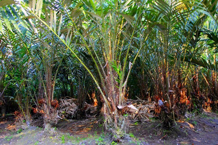 Deretan pohon salak dan kesejukan udara khas pedesaan akan menyambut Anda di Desa Wisata Agro Bangunkerto