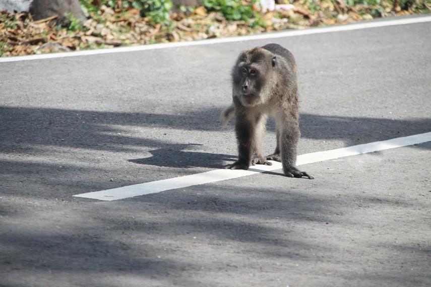 Di jalan melintas hutan, kita dapat melihat berbagai hewan liar seperti kera salah satunya