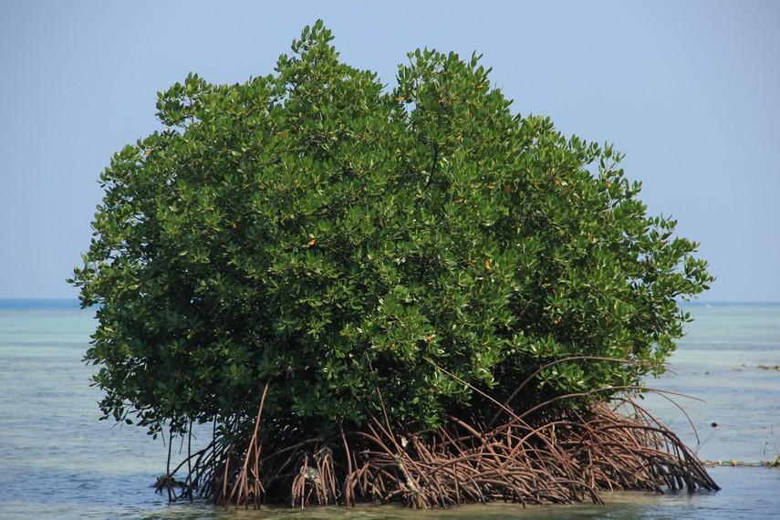 Di sekitar pantai pengunjung juga bisa melihat pohon bakau yang tumbuh subur