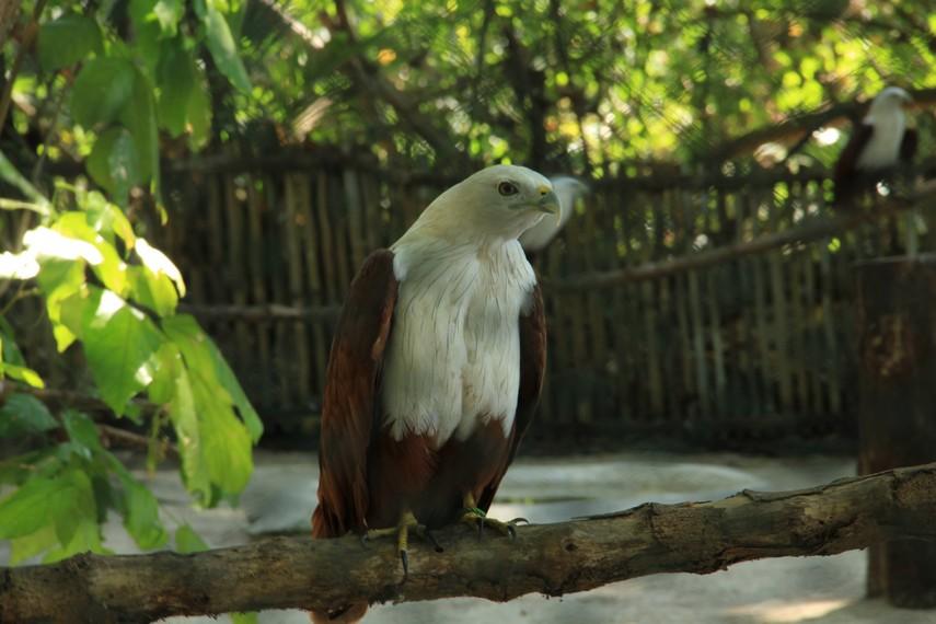 Pulau Kotok juga terkenal sebagai tempat penangkaran burung elang bondol