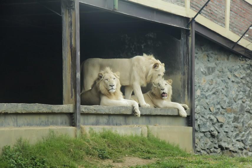 Hewan-hewan buas seperti singa bisa disaksikan di arena bernama Tiger Land