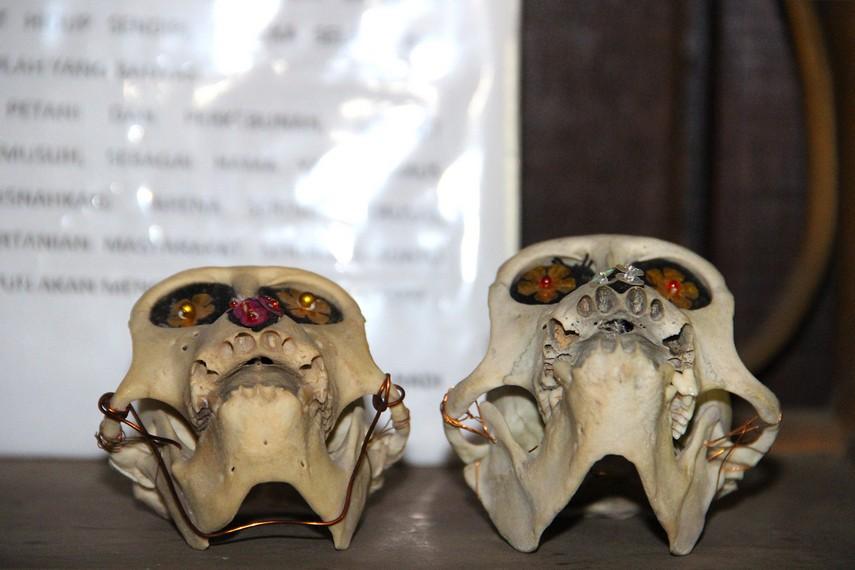 Kerangka kepala jenis primata yang menjadi salah satu koleksi fauna di museum kayu Tuah Himba