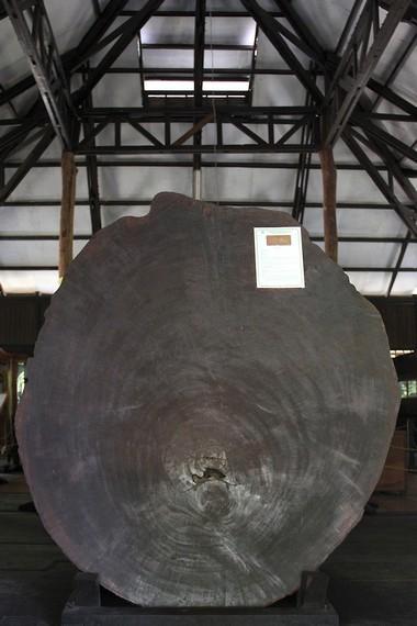 Salah satu koleksi pohon kayu raksasa dari pedalaman hutan Kalimantan di museum Tuah Himba