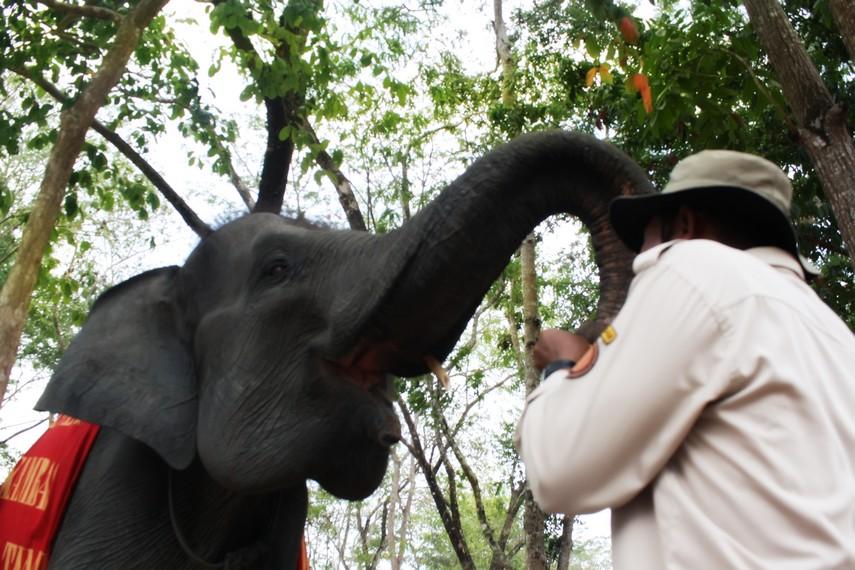 Untuk mencegah kepunahan gajah Sumatera, Pusat Konservasi Gajah mengupayakan pengembalian gajah ke habitat liarnya