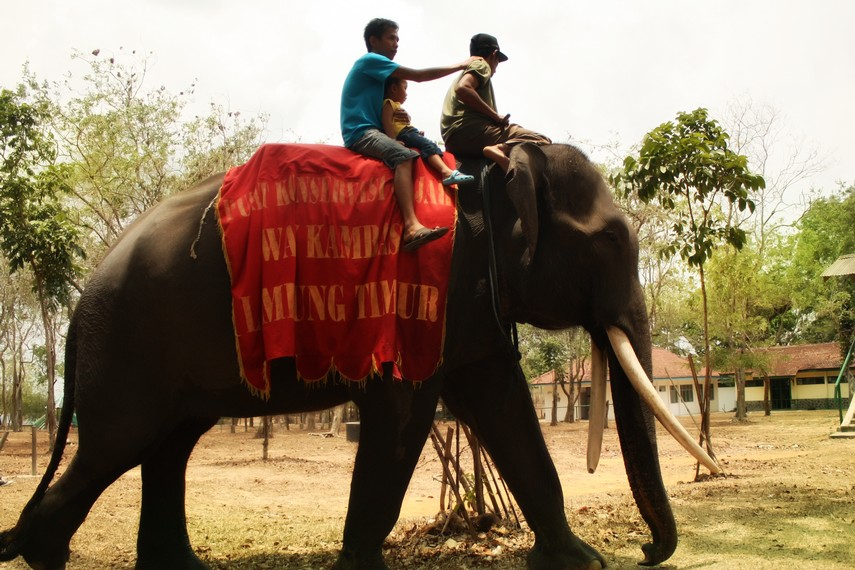 Pengunjung dapat mencoba berkeliling kawasan Pusat Konservasi Gajah dengan menaiki gajah