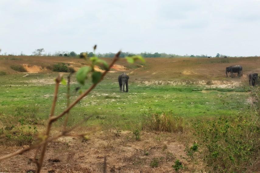 Karena kerusakan lingkungan, populasi gajah Sumatera terus menyusut