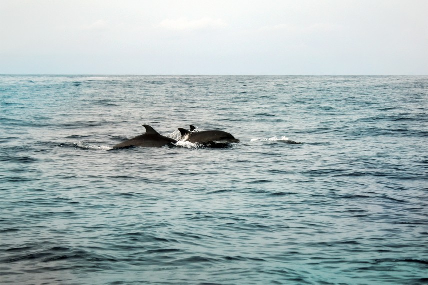 Sekawanan lumba-lumba hidung botol yang menghuni lautan lepas di sekitar Kiluan