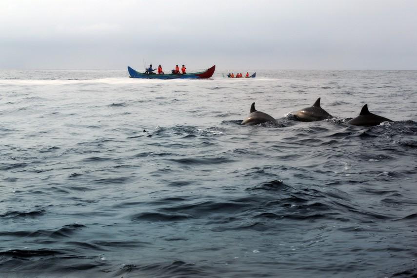 Selain lumba-lumba hidung botol, di Kiluan terdapat jenis paruh panjang