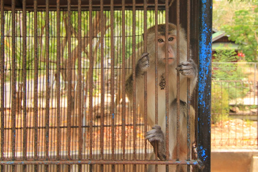 Monyet-monyet yang berada dalam kandang menjadi hiburan bagi pengunjung di Bumi Kedaton Resort