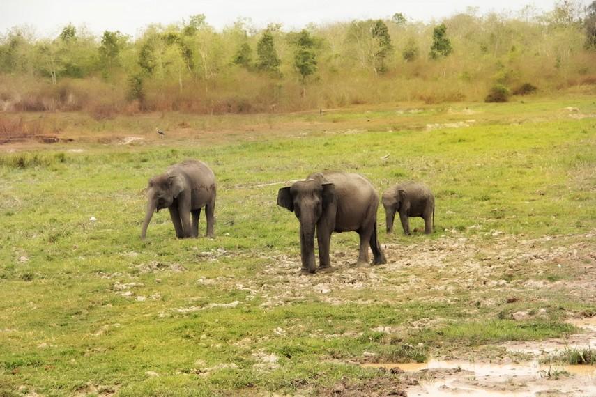 Sebagian besar gajah di Way Kambas dibiarkan hidup bebas di alam liar