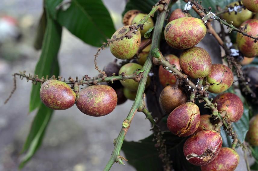 Kandungan glukosa dalam buah Matoa juga cukup tinggi, sehingga konsumsi Matoa dalam jumlah banyak dapat menyebabkan pusing dan mabuk