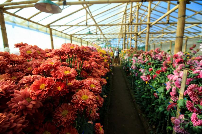Kebun bunga yang terdapat di dalam kawasan Malino