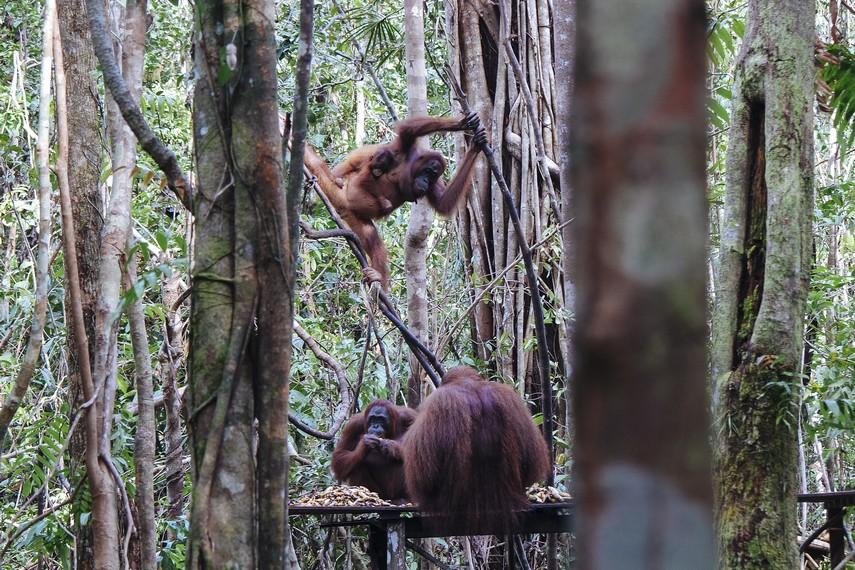 Kegiatan feeding Orangutan