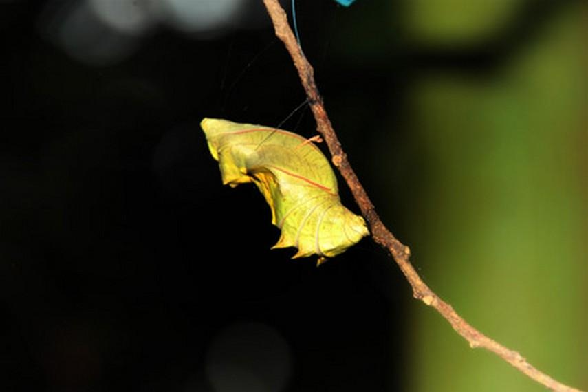 Kepompong yang telah siap melahirkan seekor ulat untuk menjadi kupu-kupu di taman penangkaran kupu-kupu Bantimurung