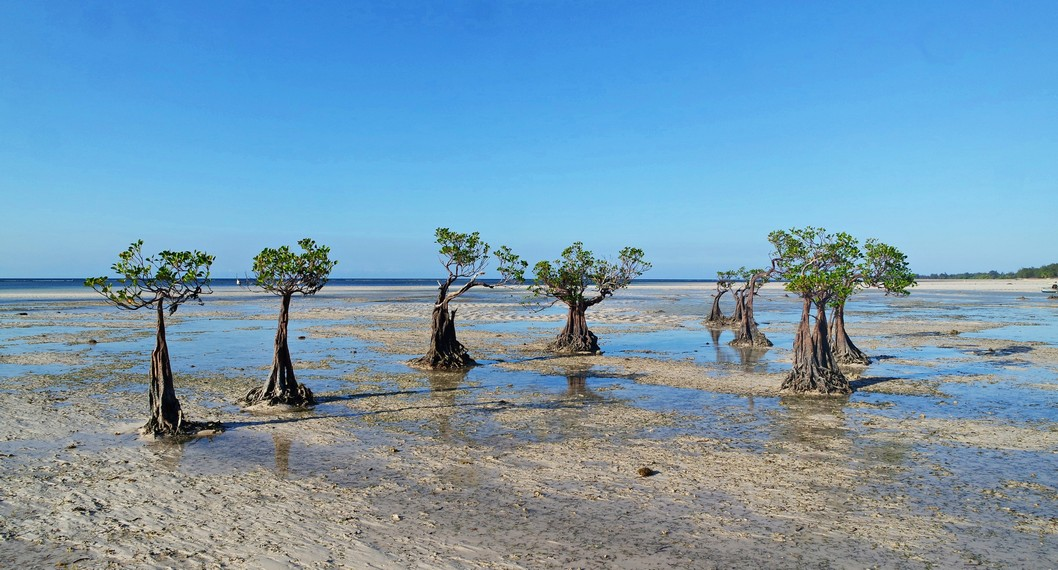 Keunikan Pohon Mangrove kerdil Pantai Walakiri yang memiliki daya tarik tersendiri