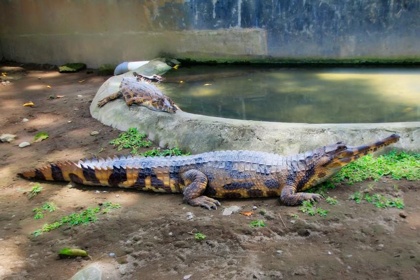 Kolam buaya yang terdapat di Kebun Binatang Gembira Loka