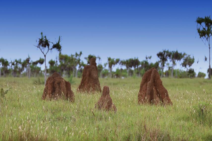 Kumpulan Musamus kecil di padang rerumputan