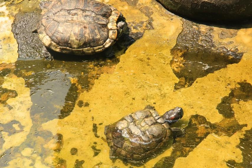 Kura-kura menjadi salah satu koleksi hewan yang ada di Museum Komodo dan Taman Reptilia